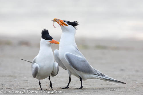 Royal Tern Courtship with a Crab