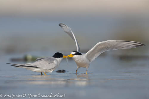 Least Tern Fish Exchange