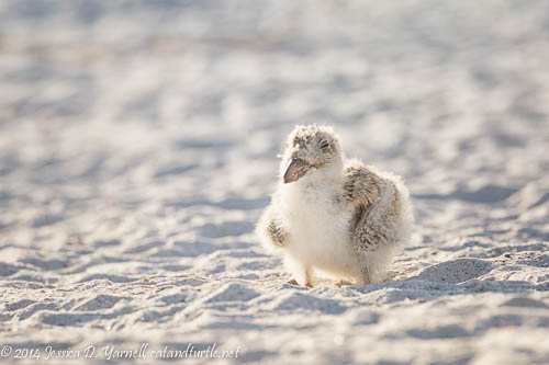Backlit Baby Black Skimmer