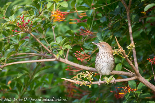 Juvie Brown Thrasher in Firebush