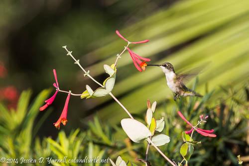 Ruby-throated Hummingbird on Coral Honeysuckle
