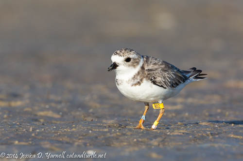 Banded Piping Plover B02