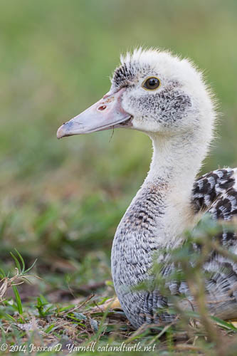 Muscovy Duckling - One of Father Goose's Charges