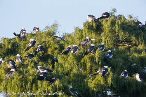 Swallow-tailed Kite Roost