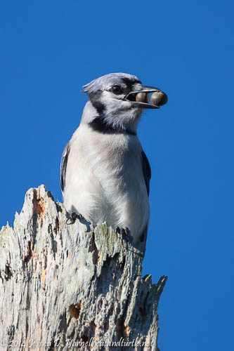Big Mouth Blue Jay