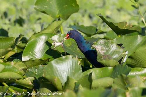 Purple Gallinule with Frog