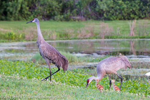 Sandhill Crane Family: Hatch Day + 5