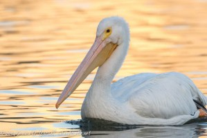 American White Pelican at Sunrise