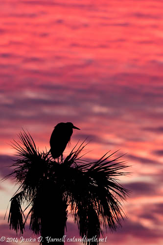 Great Blue Heron Nesting in Tree