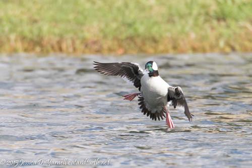 Male Bufflehead Landing