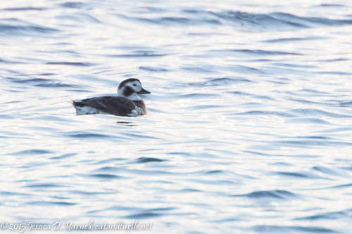Lifer Long-tailed Duck