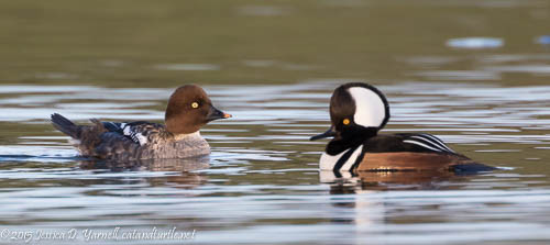 Common Goldeneye and Hooded Merganser