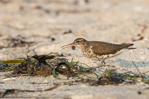 Spotted Sandpiper at East Beach