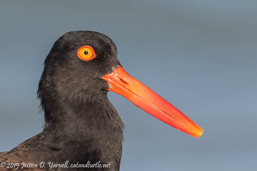 American Oystercatcher Head Shot