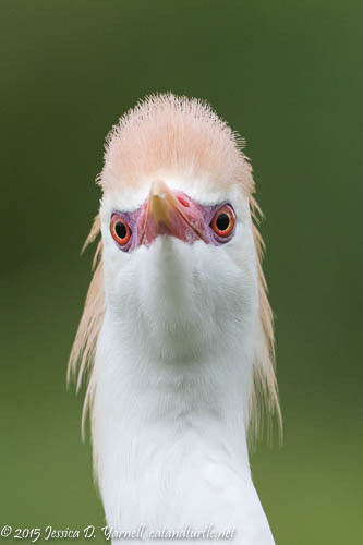 Cattle Egret Head On