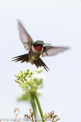 Ruby-throated Hummingbird - one of the few times the male showed me his red throat!