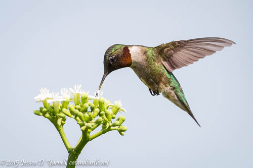 Ruby-throated Hummingbird at White Flower