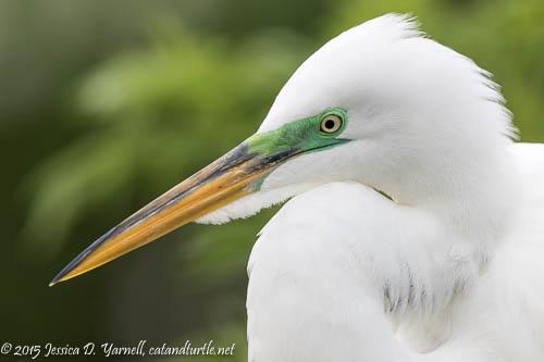 Great Egret in Green