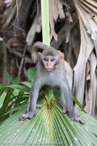 Juvenile Monkey Ready to Pounce