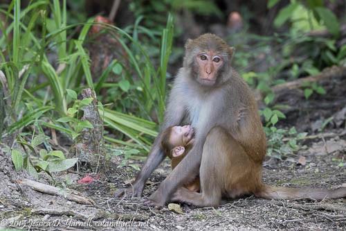 Mom and Baby Rhesus Monkey