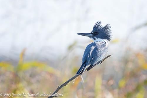 Belted Kingfisher at Lake Apopka Wildlife Drive