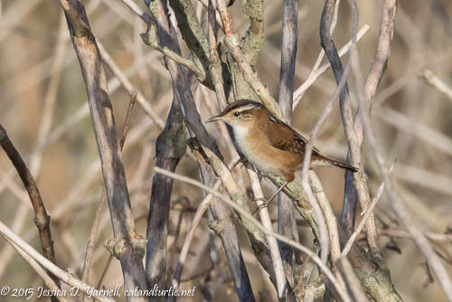 Marsh Wren at Lake Apopka Wildlife Drive