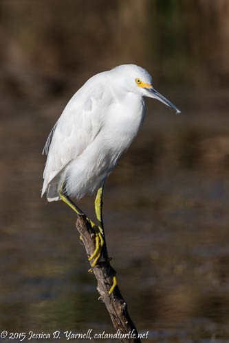 Snowy Egret at Lake Apopka Wildlife Drive