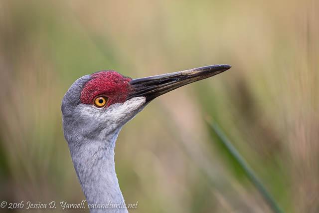 Curious Adult Sandhill Crane