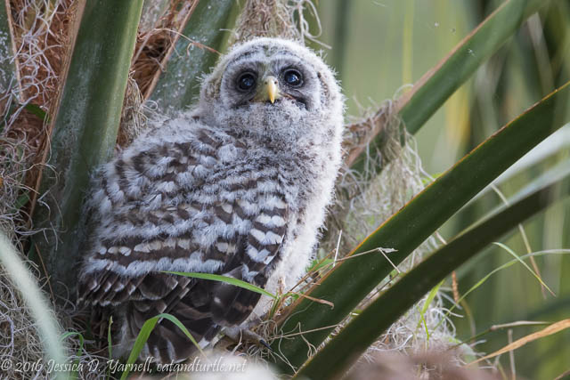 Barred Owlet Learning to Climb