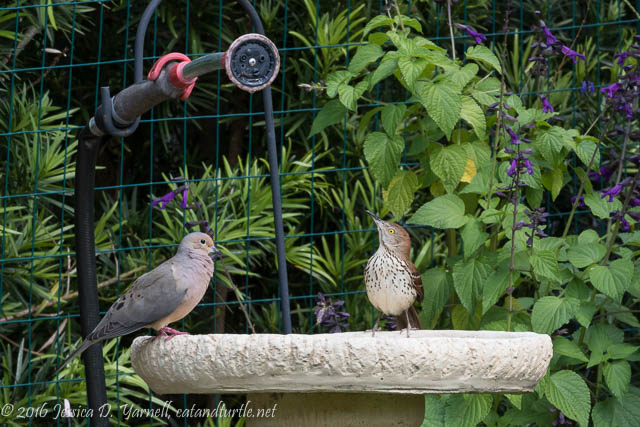 Brown Thrasher and Mourning Dove