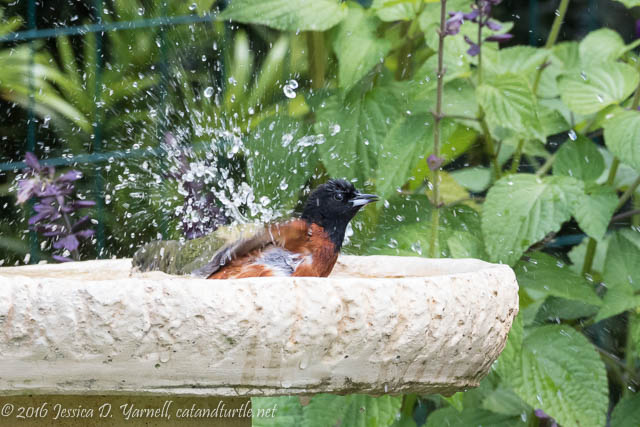 Orchard Oriole and Painted Bunting at Birdbath