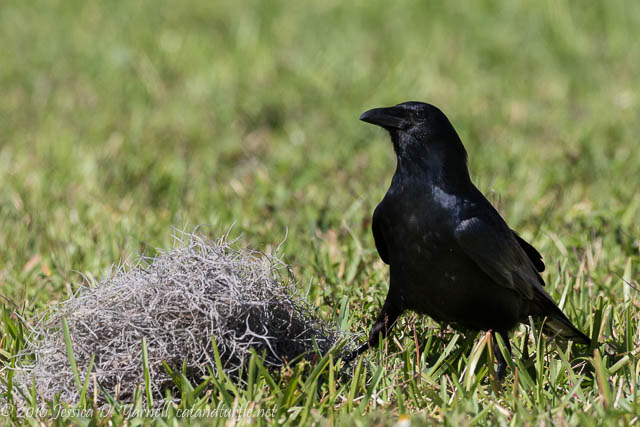 Crow Searching for Nesting Material