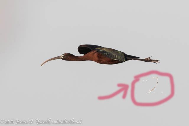 Glossy Ibis Mid-Air Poop!