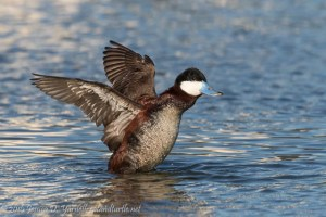 Ruddy Duck Wing Flap