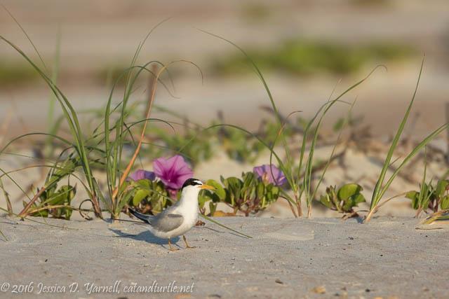 Least Tern in his Habitat