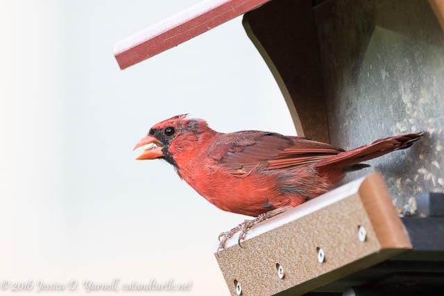 Scruffy Northern Cardinal