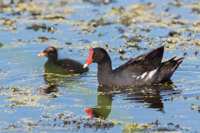 Common Gallinule and Baby at Orlando Wetlands