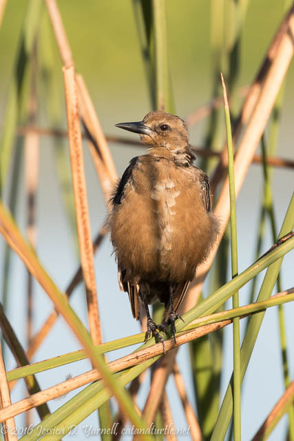 Juvie Grackle at Orlando Wetlands