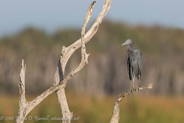 Little Blue Heron at Orlando Wetlands