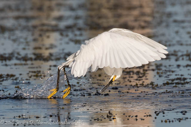 Snowy Egret Fishing Technique at Orlando Wetlands