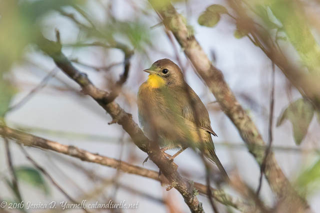 Female Common Yellowthroat