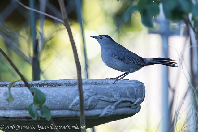 Gray Catbird at Birdbath
