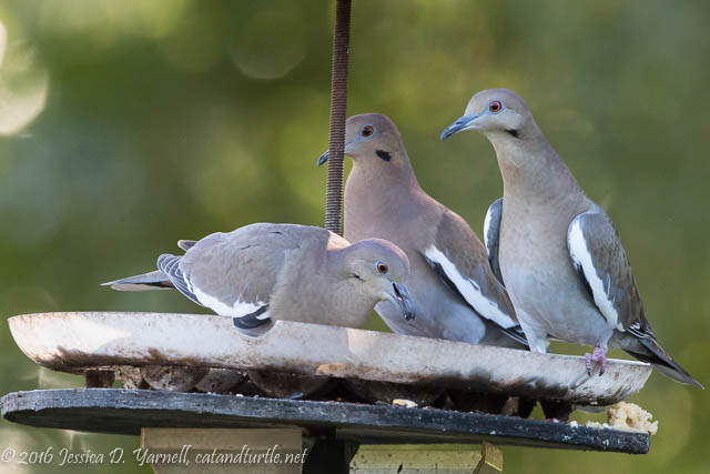 The Three Stooges (White-winged Doves)