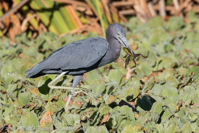 Little Blue Heron with Frog