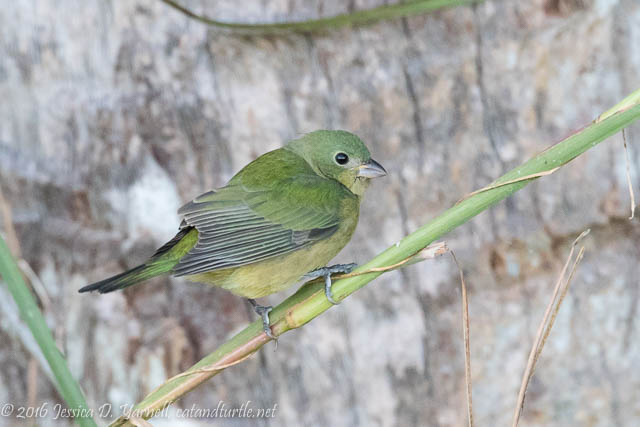 "Painted Bunting ""Greenie"""