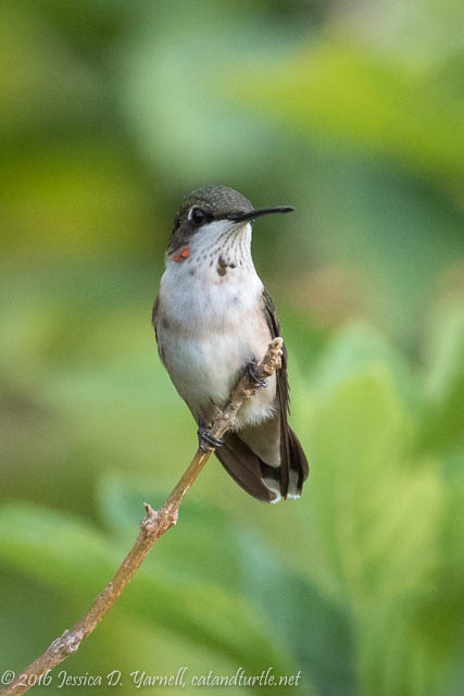 Ruby-throated Hummingbird - Look at that emerging red gorget!