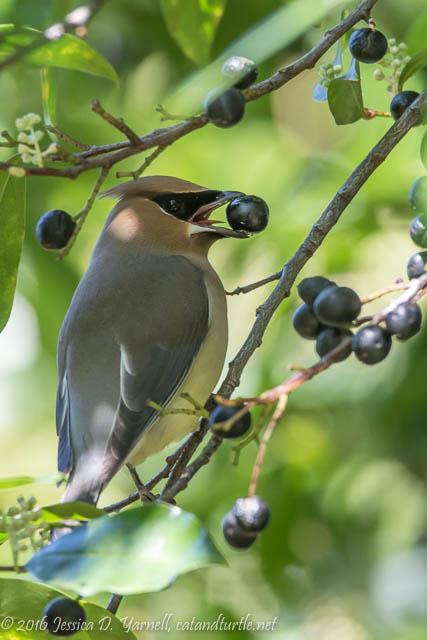 Cedar Waxwing Eating Berries in my Parents' Backyard