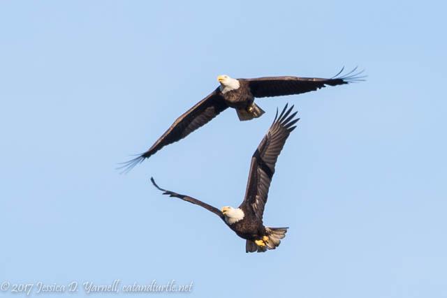 Bald Eagle Courtship