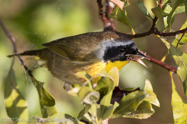 Common Yellowthroat with Spider for Breakfast