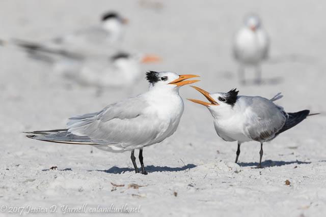 Royal Tern Mom and Juvenile
